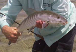 6 lb. prime Hawaiian Bone Fish and a Kane Klassics 5 pc 9' fly rod.